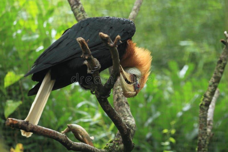 Papuan犀鸟 免版税库存照片