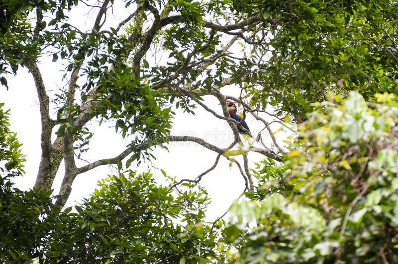 Papuan Hornbill in Manusela National Park, Indonesia royalty free stock photos