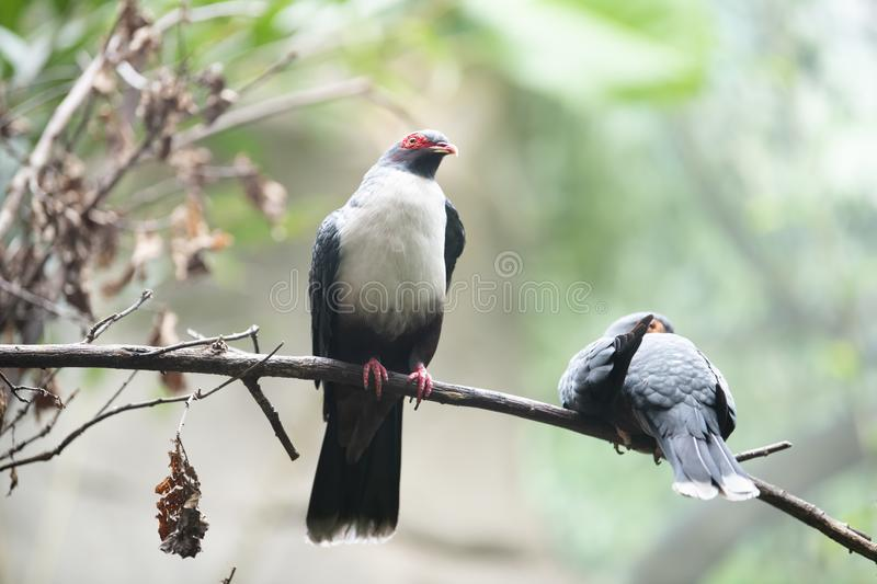 Papuan Mountain-pigeon -Gymnophaps albertisii stock images
