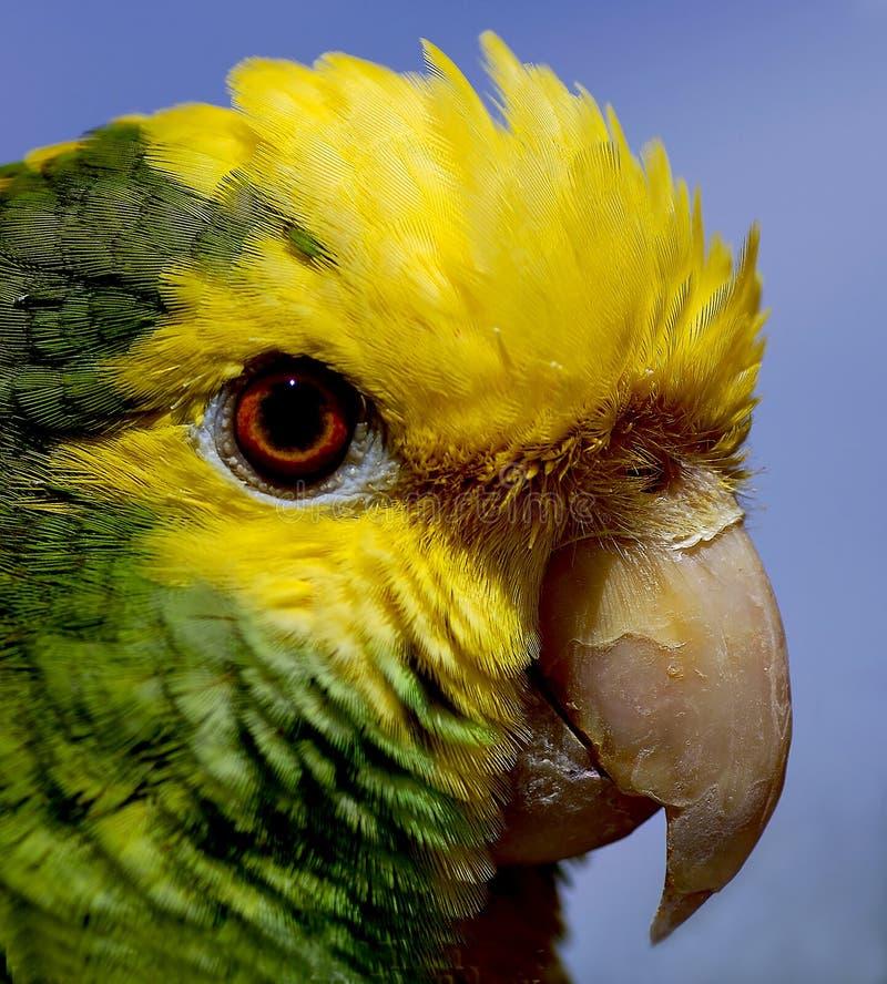 papuga 2 zdjęcie stock