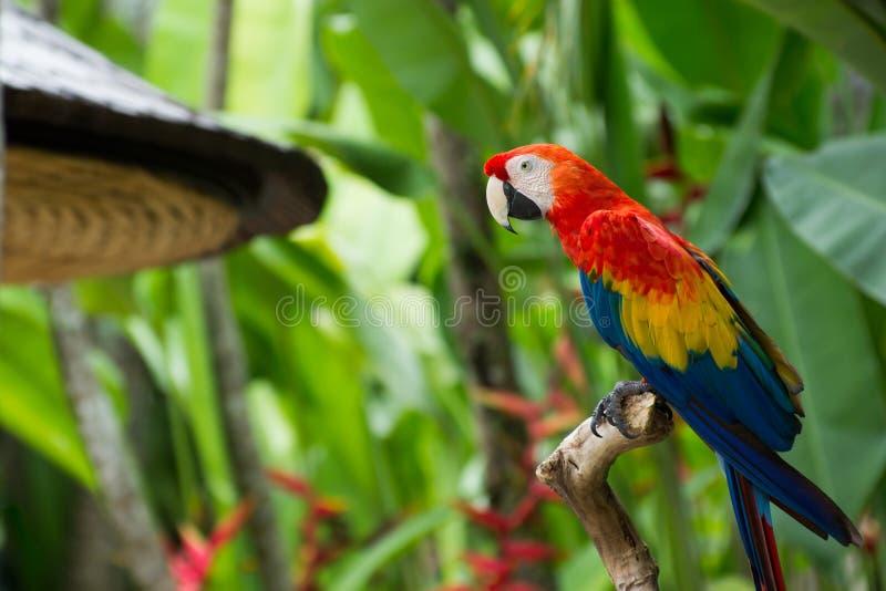 Download Papuga obraz stock. Obraz złożonej z belfer, piórko, zwierzęta - 28974085