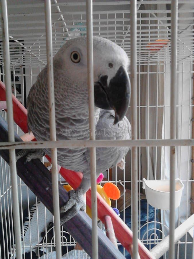 Download Papuga zdjęcie stock. Obraz złożonej z klatka, papuga - 53793348