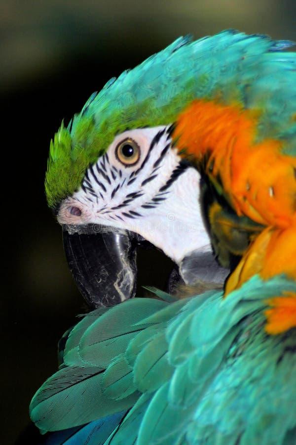 papuga ary obrazy stock