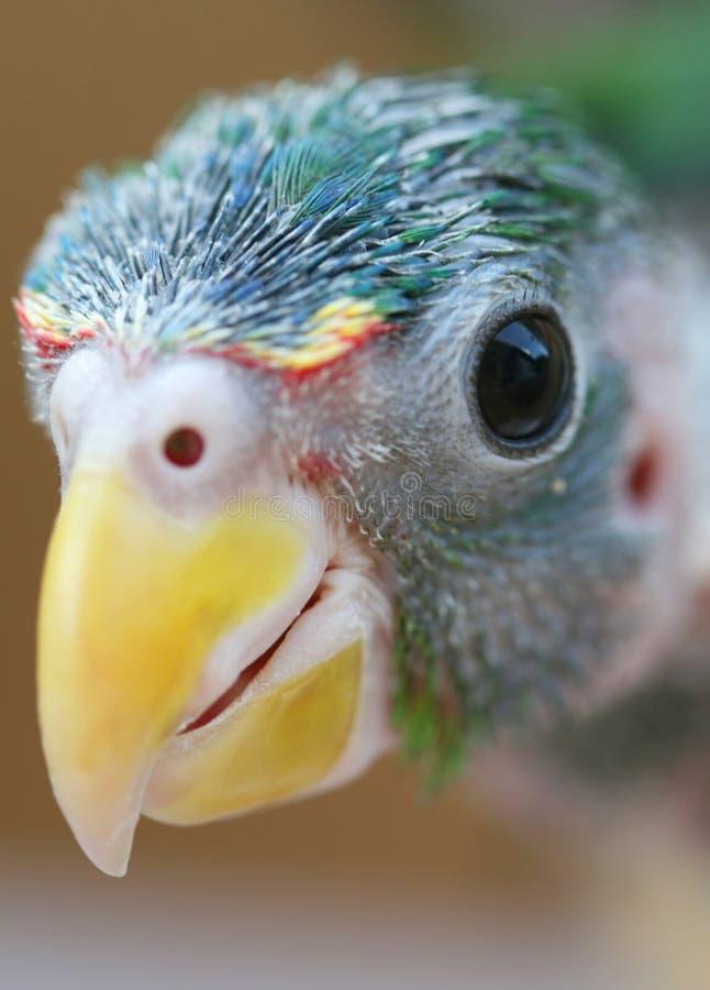 papuga dziecka zdjęcia stock