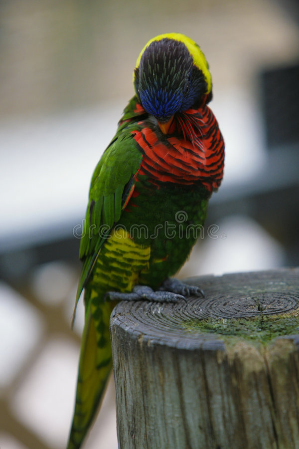 papuga egzotyczna obraz stock