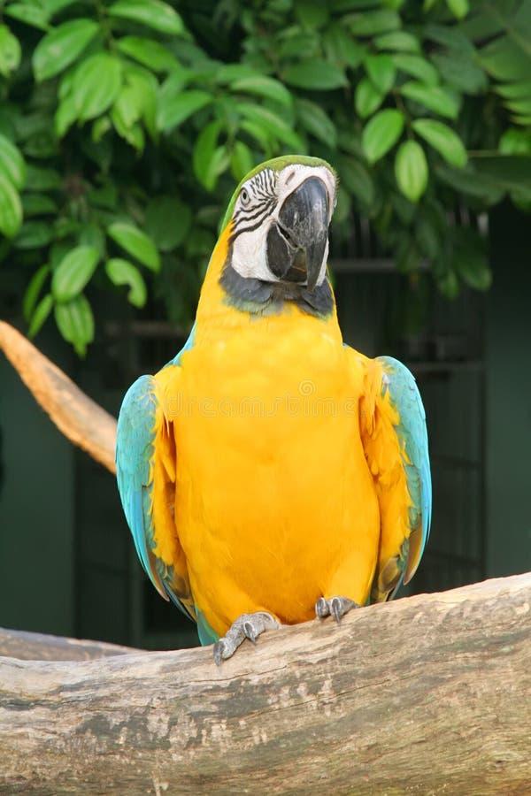 papuga influenzy obraz stock