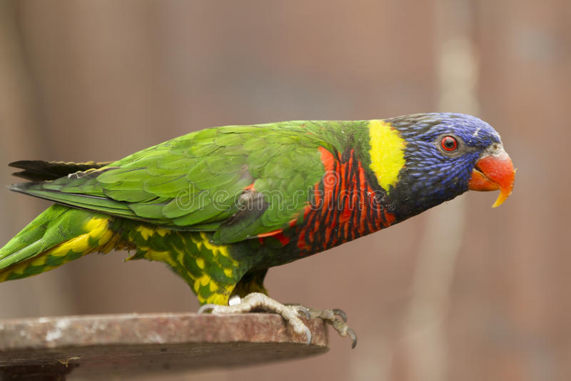 Papuga na żerdzi fotografia royalty free