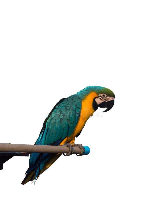 Papuga na białym tle zdjęcia stock