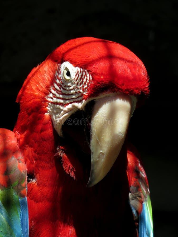 Papuga na słonecznym dniu z czarnym tłem fotografia royalty free