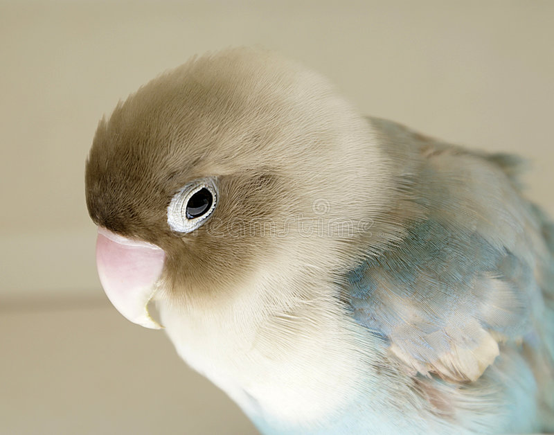 papuga rannych obrazy stock