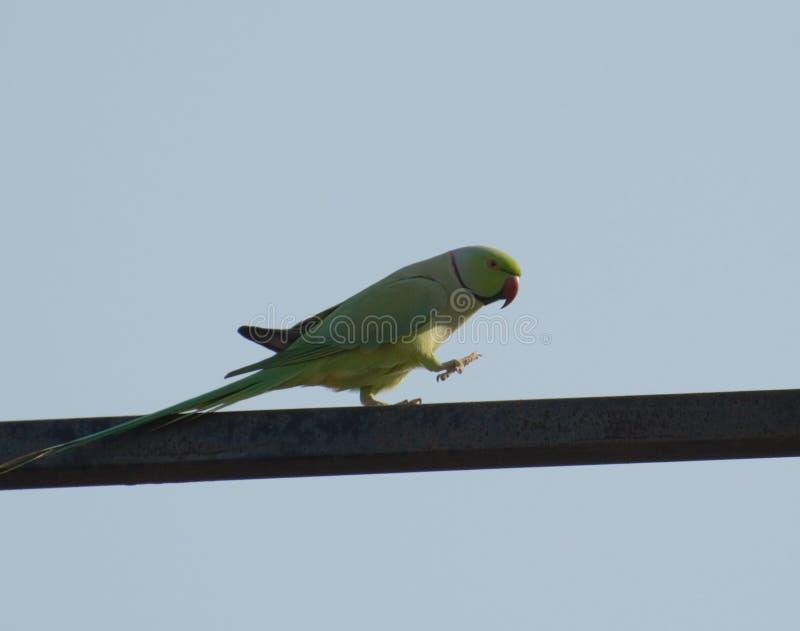 papuga upierścieniony rose obraz stock