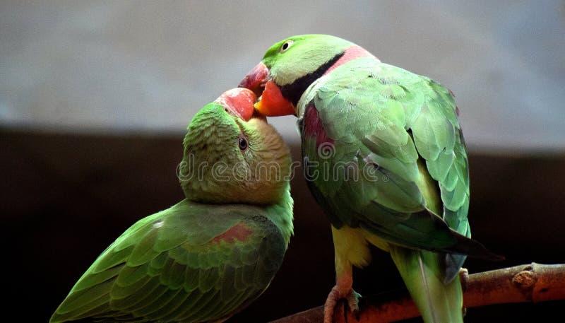 papuga upierścieniony rose zdjęcie stock