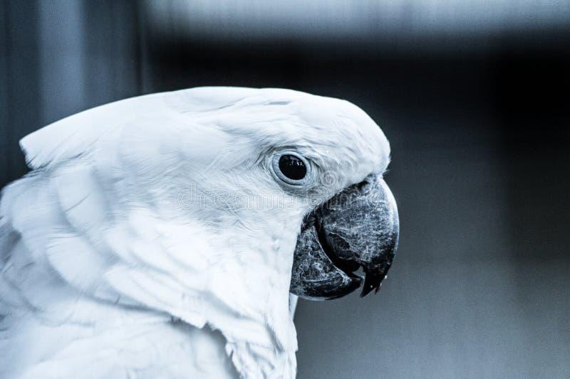 Papuga w czarny i biały fotografia stock