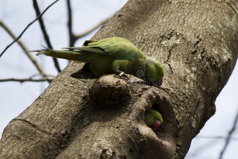Papugi bawić się Peekaboo ind Bangalore - gniazdowa dziura w drzewie - zdjęcia stock