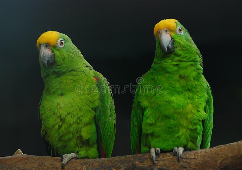 papugi dwa obrazy royalty free
