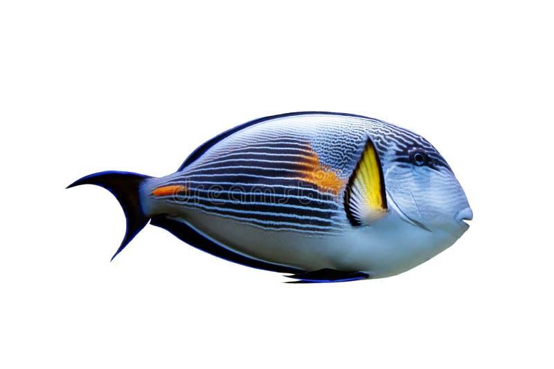 Papugi ryba odizolowywająca zdjęcia royalty free