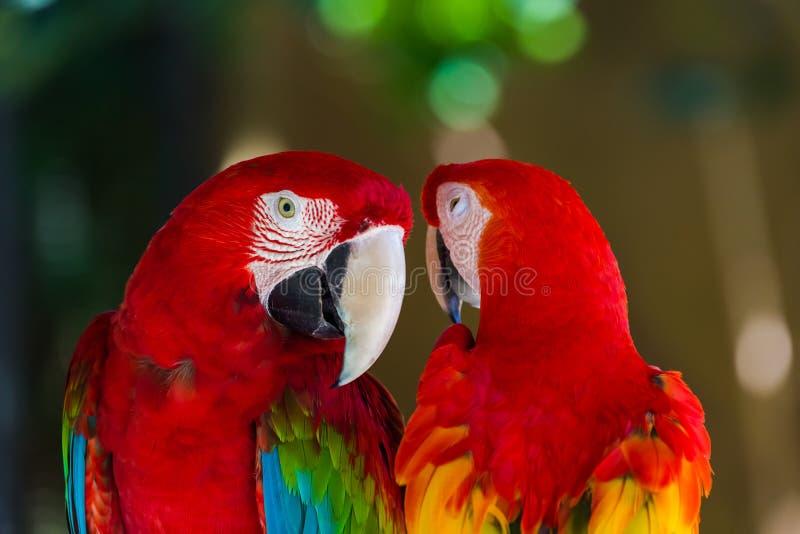 Papugi w Bali wyspie Indonezja fotografia stock