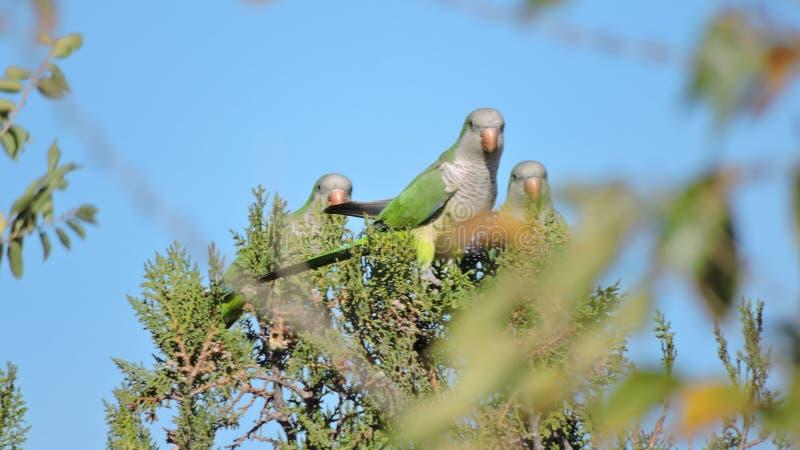 papugi w Patagonia zdjęcie stock
