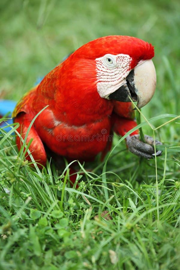 papuzi ara szkarłat zdjęcia stock