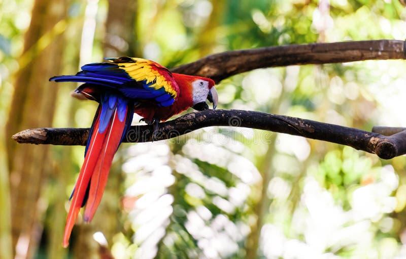 Papuzi arony w zielonym tropikalnym lesie, Costa Rica fotografia stock