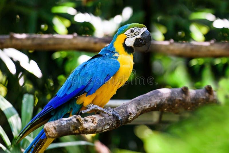 Papuzi arony w zielonym tropikalnym lesie, Costa Rica obraz stock