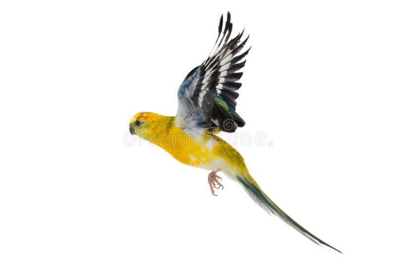 Papuzi haematonotus psephotus odizolowywający obrazy royalty free