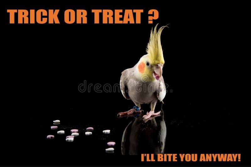 Papuzi Halloweenowy śmieszny meme, Trikowy lub funda, gryźć ciebie Cockatiel łasowania cukierek chłodno wycena i memes obraz royalty free