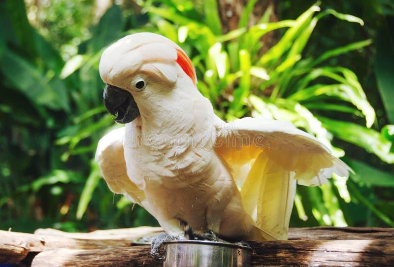 Papuzi kakadu zdjęcie stock