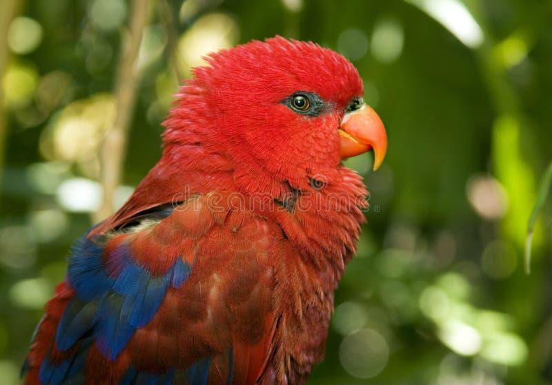 papuzia czerwień obraz stock