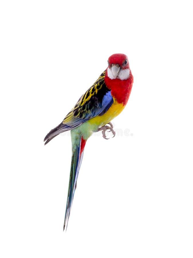 Papuzia Rosella papuga odizolowywaj?ca fotografia royalty free