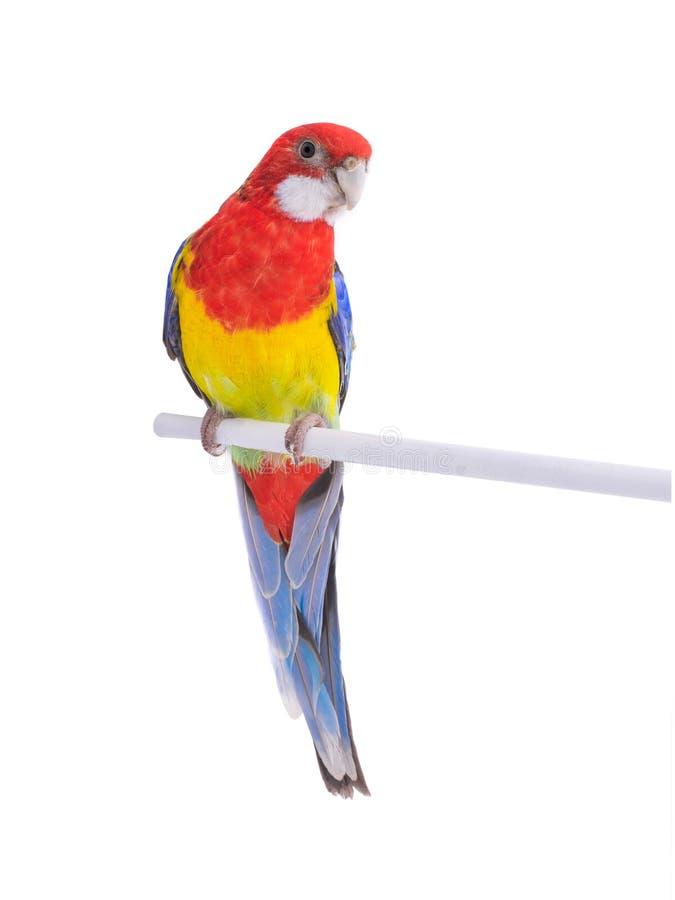 Papuzia Rosella papuga odizolowywaj?ca obrazy stock