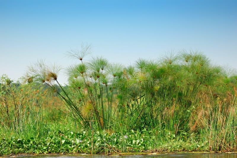Download Papyrus stock image. Image of bush, uganda, tropical - 16238937