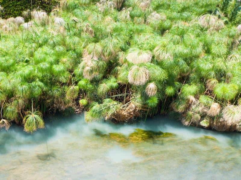 Papyrus bush stock images