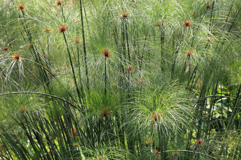 Download Papyrus grass stock image. Image of leaf, green, exotic - 15574313