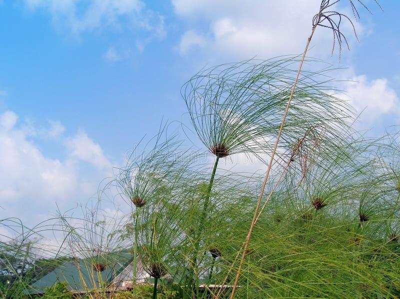Papyrus im Wind lizenzfreie stockfotos