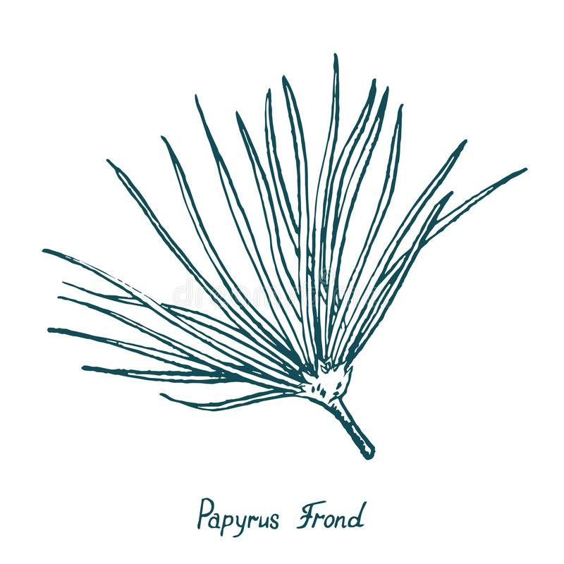 Papyrus Leaf Cyperus papyrus, Gift of the Nile, hand drawn doodle. Sketch, vector outline simple illustration vector illustration