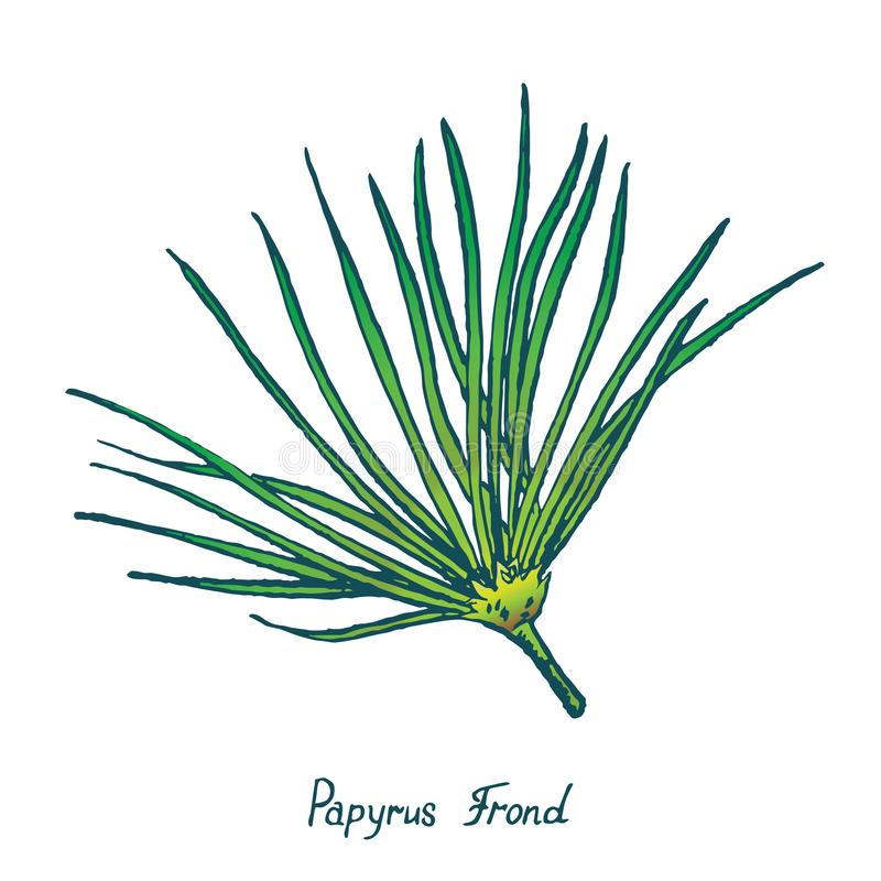 Papyrus Leaf Cyperus papyrus, Gift of the Nile, hand drawn doodle. Sketch, vector outline simple color illustration royalty free illustration