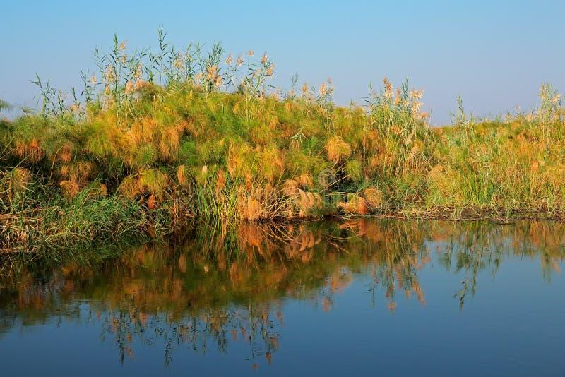 Papyrus på den Kwando floden royaltyfri bild