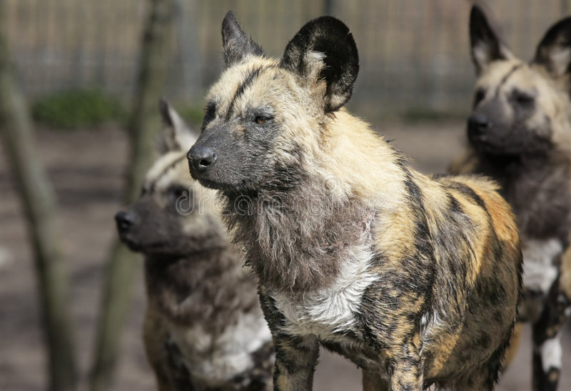 Paquet d'hyène photos stock