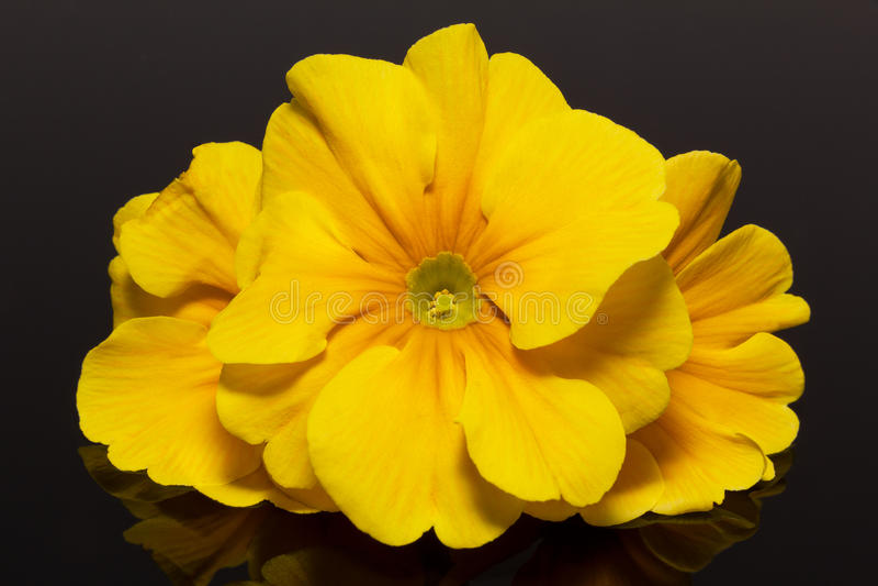 Paquet de belles fleurs de ressort de primevère jaune sur le fond noir photos libres de droits