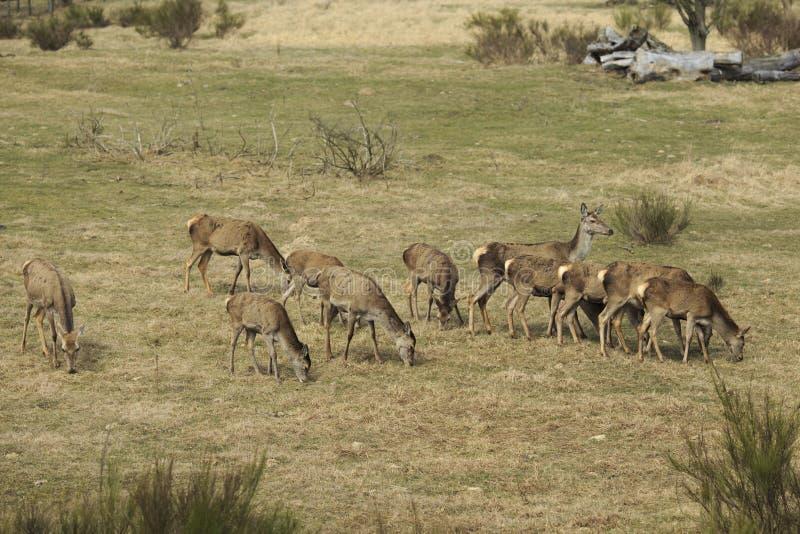 Paquet de cerfs communs rouges tout en mangeant image libre de droits