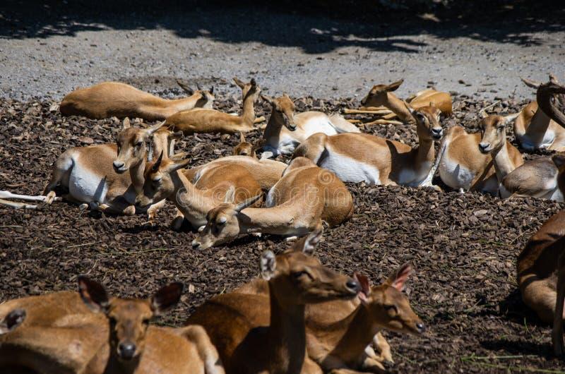 Paquet de cerfs communs s'asseyant au soleil dans le zoo de Zurich image libre de droits