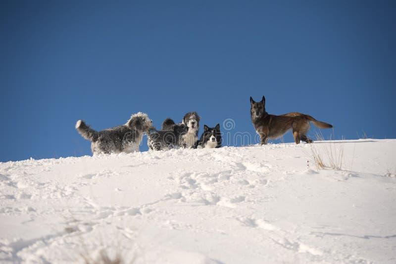 Paquet de chien jouant sur l'arête de montagne : colley barbu, border collie, chien de berger belge, pumi photographie stock libre de droits