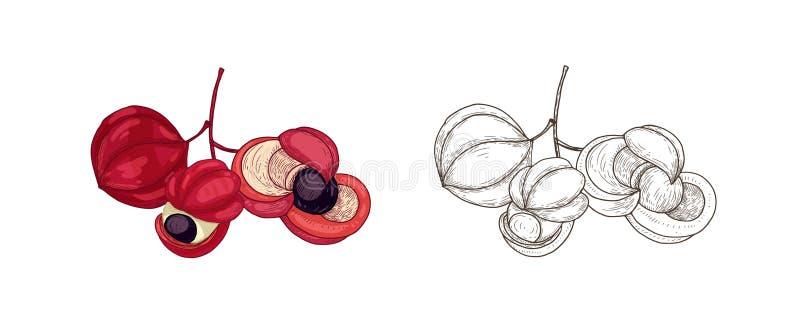 Paquet de dessins colorés et monochromes des fruits de guarana Culture comestible tropicale, produit de superfood, diététique illustration stock