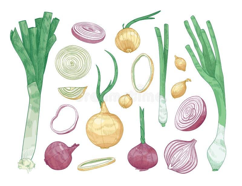 Paquet de différents oignons entiers et coupés d'isolement sur le fond blanc Ensemble de dessins colorés des légumes crus de illustration stock