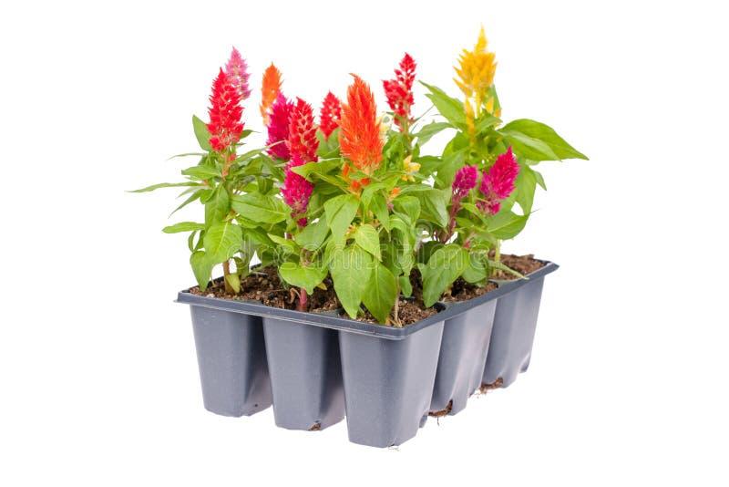 Paquet de fleur de Celosia photo stock