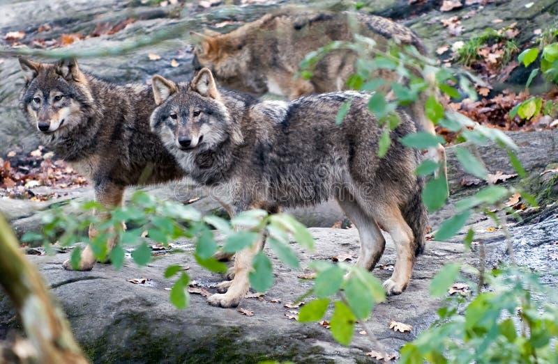 Paquet de loup photos libres de droits