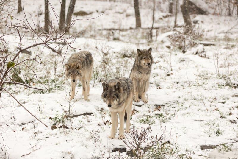 Paquet de loups de bois de construction dans une scène d'hiver photos stock