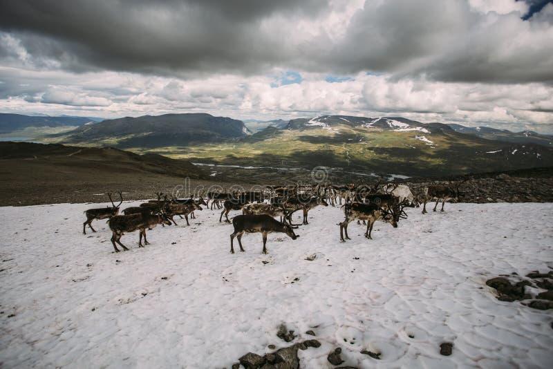 Paquet de renne norvégien sur une correction de neige photo stock