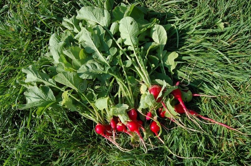 Paquet gentil de radis du pays fraîchement sélectionnés photos libres de droits